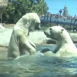 酷新聞:同志伴侶北極熊遭拆散  其中一隻熊「心碎而死」