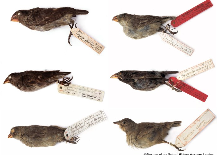 A collage of six images showing dead finches against a white background, each with a handwritten tag on it's feet.
