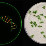 Upgrade for CRISPR/Cas: Researchers knock out multiple genes in plants at once