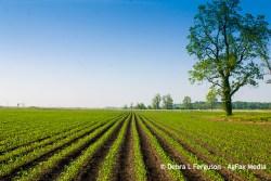corn yield