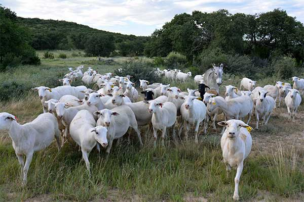 Texas Field Reports: Sheep, Goat Prices, Inventories Down