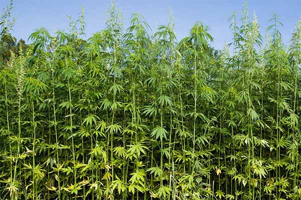 Industrial Hemp: Legal to Grow but No Pesticides Labeled for Use – AgFax