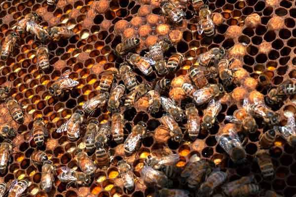 California Almonds: Bee Hours – Dissecting The Metric – AgFax