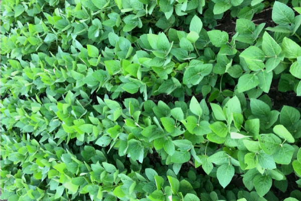Indiana Soybeans: Sulfur Deficiencies? 4 Common Questions