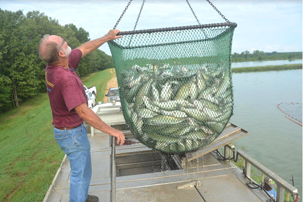 Mississippi: Catfish Supplies Cause Prices, Sales to