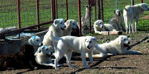 Livestock guardian dogs await assignment to area ranches as part of a year-long study. (Texas A&M AgriLife Communications photo by Steve Byrns)