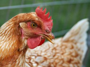 TGP earns $550M on sale of poultry assets