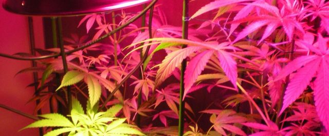 Colorado Cannabis Farmers Turn to Tech While Navigating a New and Uncertain Industry