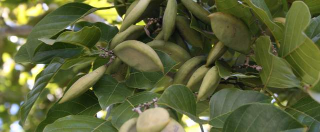 Pongamia_Pinnata_Seeds