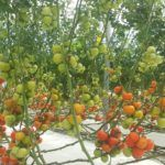 Qatar Investment Authority's Hassad Food to Sell Hydroponic Greenhouse Technology to Growers