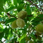What First State Super's Investment in Australian Almonds Means for the Farmland Investment Market