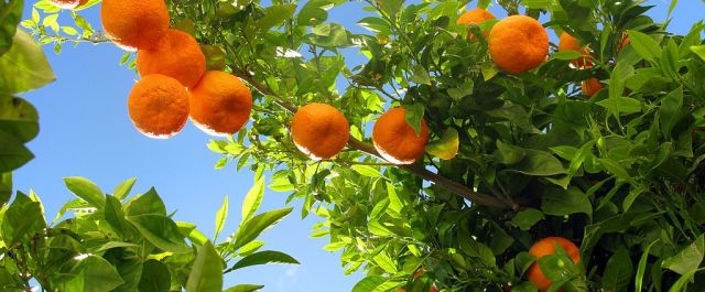 1024px-Ronda_08_Orange_Tree_(4579322771)
