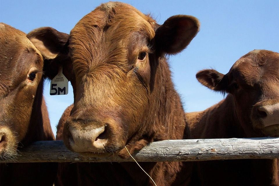 AgGenetics is Answering Global Beef Demand with New White