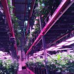 6 Questions with Lighting Science's Mortensen on Benefits and Challenges in Indoor Ag