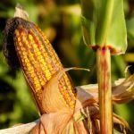 Benson Hill Receives NCGA Grant to Drive Corn Seed Competition with Big Ag