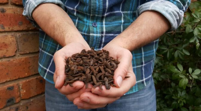 The Opportunities and Challenges of Insect Farming for Feed
