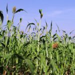 Gates Foundation Awards $6.1m Grant to Danforth Center for Sorghum Research