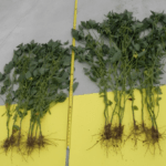 Image from Groundworks Marrone Bio Innovations project: Soy Bean Field Trial Yield Results, Pioneer Seed Varieties.