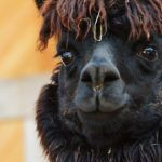 Belgian Startup Using Llama Antibodies for Biopesticides Increases Series B to $11.6m