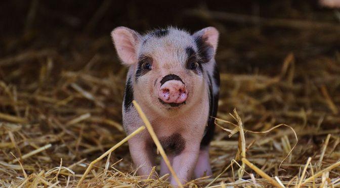pig innovation