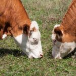 Report: US Grass-Fed Beef Market Doubling Every Year, But Scaling Challenges Remain
