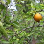 AgTech Startups Offer Hope in Brutal Citrus Greening Fight