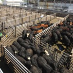 Cargill Aims to Improve Worker Safety with Remote Controlled Herding Robot for Livestock