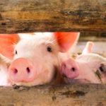 Pork Checkoff Embraces Startup Innovation for First Time with New MidWest THRIVE Accelerator Program