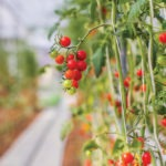 The Precision Indoor Plants Consortium Wants to Make Your Tomatoes Tasty Again