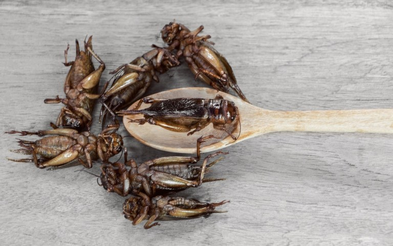 asia insect protein