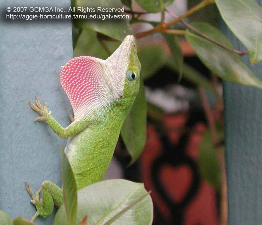 Image result for Lizard in a yard