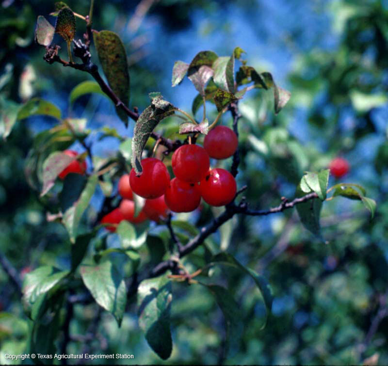 Plants Bearing 7 Fruit Zone Small
