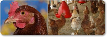 Poultry Farming with AggreBind