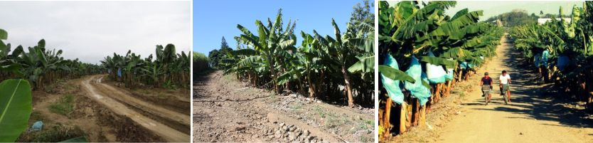 Banana Plantation soil stabilization and dust control with AggreBind