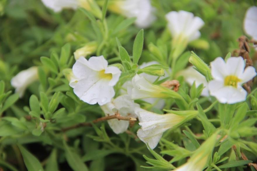 whiteflowerbetter