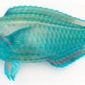 沖縄の青い魚!イラブチャーを食べる!おすすめの食べ方は!?