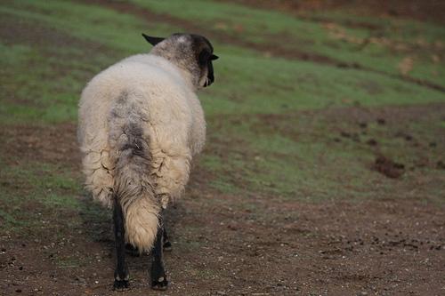 羊のしっぽ