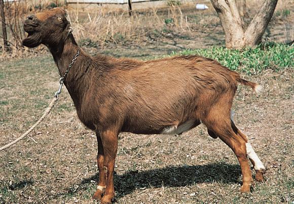ラマンチャ山羊