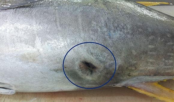 ダルマザメに噛まれた痕(治りかけ)