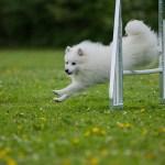 Ernæring af: den aktive hund