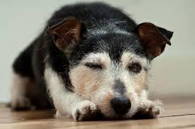 Dog half awake