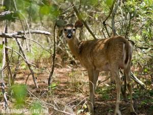 Assateague Deer