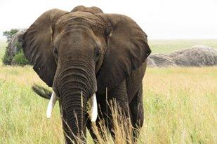 Gentle Giants of the Savannah