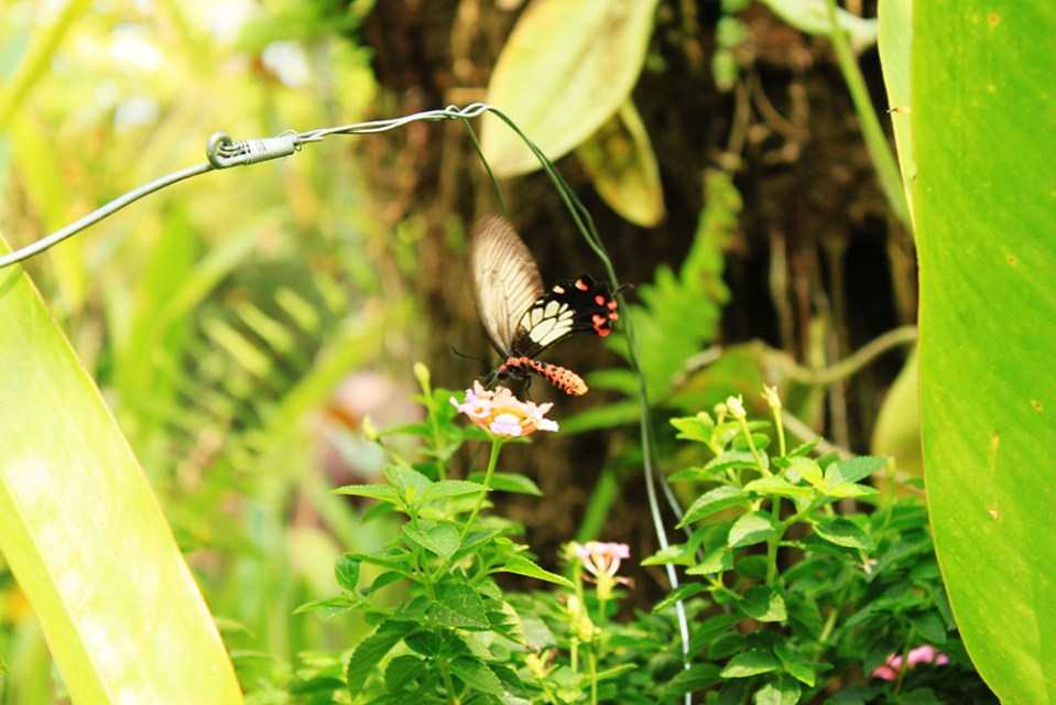 butterfly at Bai Orchid and Butterfly Farm Chiang Mai Thailand