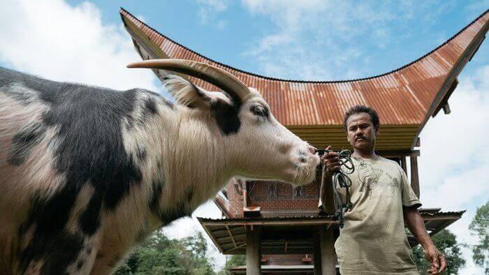 tedong saleko buffalo kerbau unik mahal toraja_agirlnamedclara