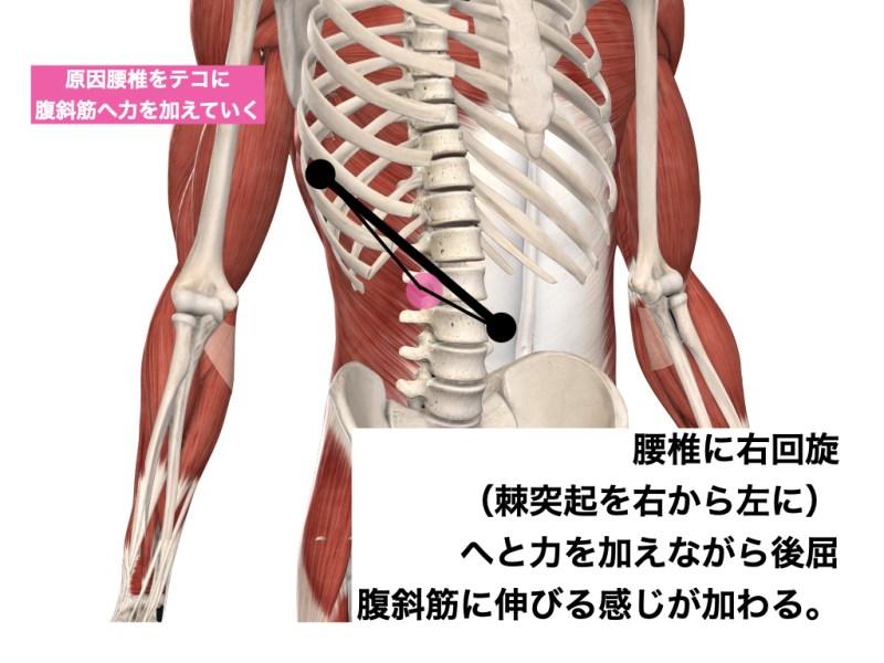 腹斜筋と腰椎 1