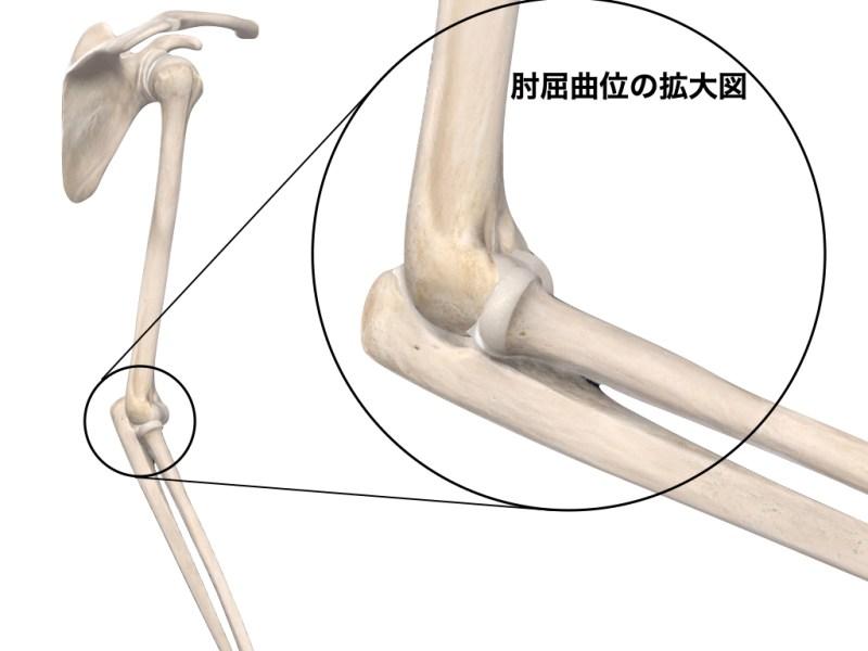 肩と肘の解剖図