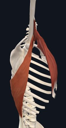 外転時の広背筋と大円筋・大胸筋(外側から)