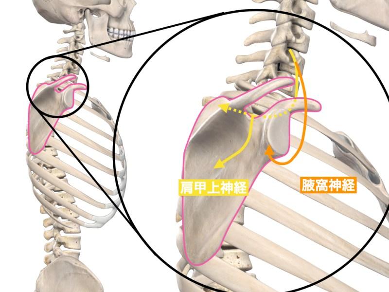 肩甲上神経と腋窩神経の走行