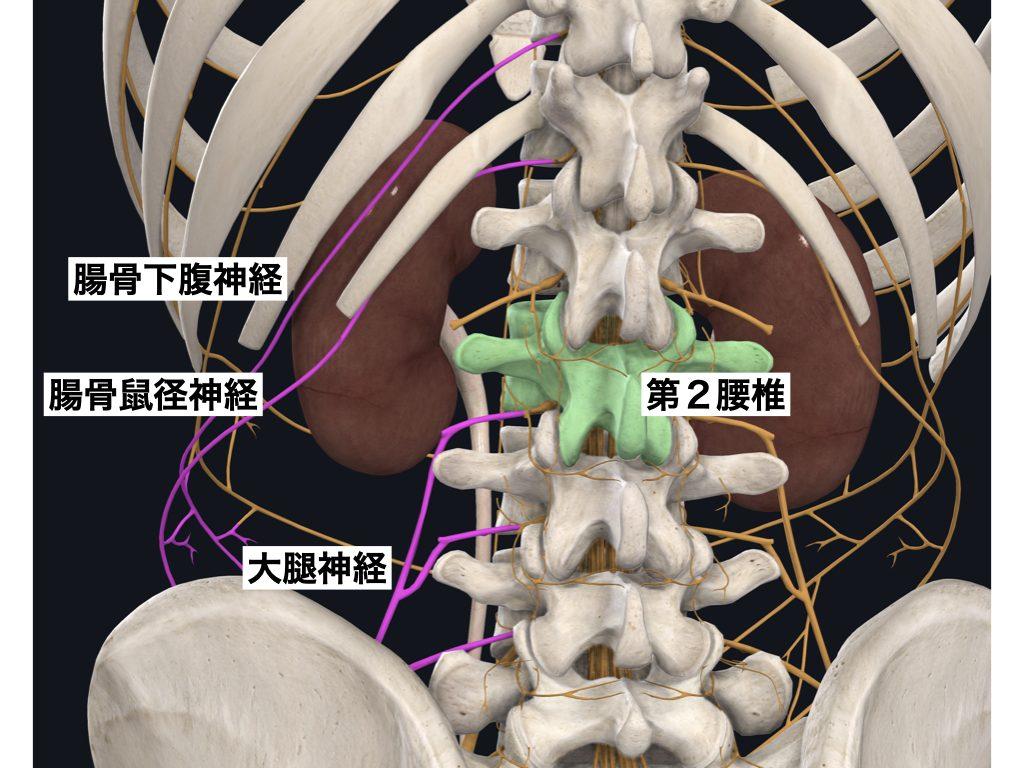 腎臓と鼠径部・大腿部の神経